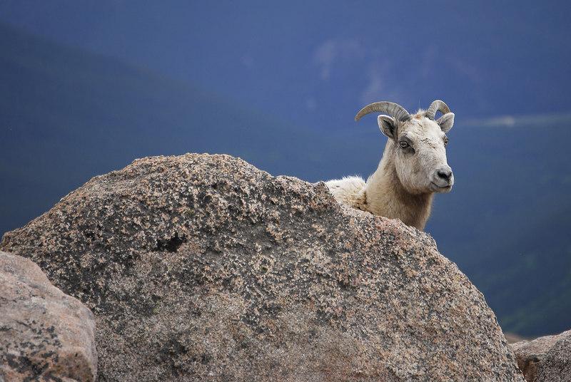 Mt. Evans, Colorado Bighorn sheep. By Daniel P Woods