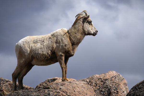 Mt. Evans, Colorado Bighorn sheep.  Daniel P Woods
