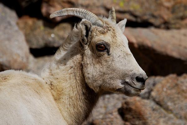 Mt. Evans, Colorado Bighorn sheep.   Photography By ©2006 Daniel P Woods