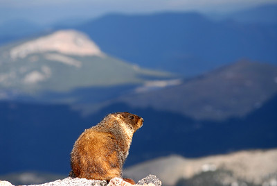 Photos of  Marmots