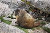 Marmots in the sun on Mt.Evans Colorado.<br /> By<br /> Daniel P Woods