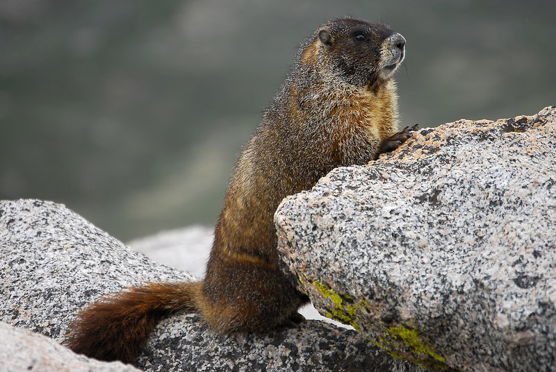 Marmots in the sun on Mt.Evans Colorado.<br /> By ©2006 Daniel P Woods