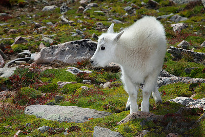Rocky Mountain Goats 2011