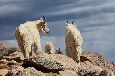 Rocky Mountain Goats 2012