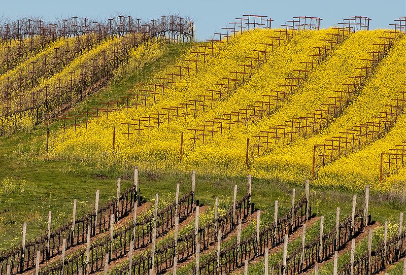 Mustard and Vines, Blue Creek Vineyards