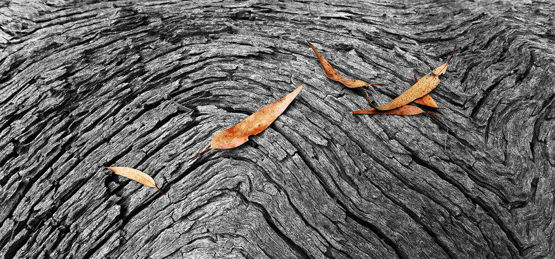 Leaf and red gum study. Mt Alexander Regional Park, Victoria.