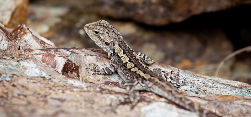 Jacky Lizard in Werribee Gorge State Park, Victoria.
