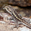 Jacky Lizard in Werribee Gorge State Park, Victoria.