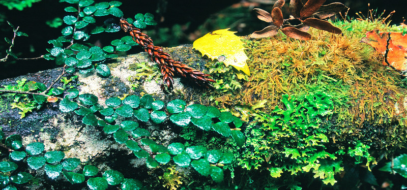 Leaf and moss detail. Cradle Mountain - Lake St Clair National Park.