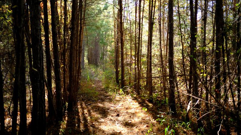 Corridor of Pine :: Trail 224