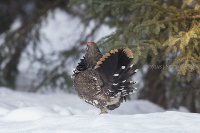 Spruce Grouse (Falcipennis canadensis) Superior National Forest