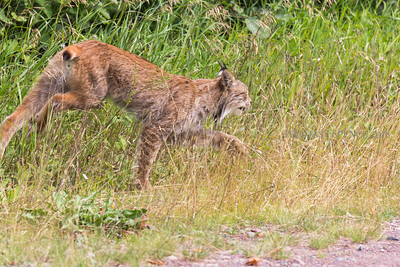 Canada Lynx (Lynx canadensis) Superior National Forest - Minnesota