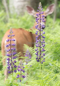 Lupine on The Shore