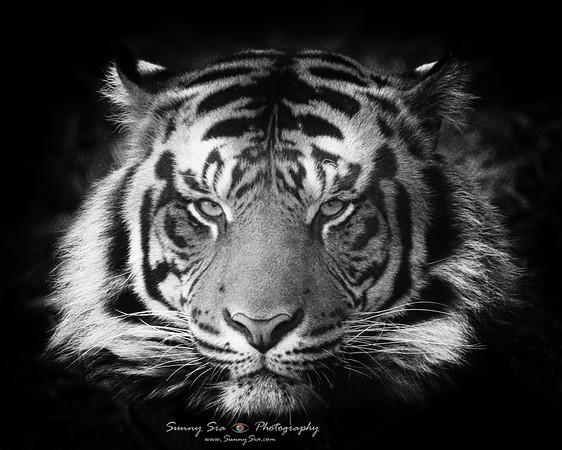Tigeress
