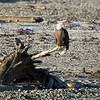 Bald eagles often use and rebuild the same nest each year. Nest trees are usually close to the water, allow for a clear view of the surrounding area, and often provide sparse cover above the nest. Nest building begins in April and both the make and female gather nest material.