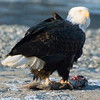 The bald eagle's main diet consists of mostly fish, including herring, flounder, pollock and salmon.  Eagles can also eat waterfowl, small mammals, sea urchins, clams , crabs and carrion.