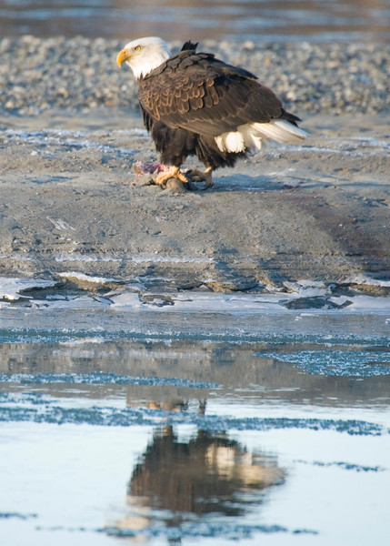 The effects of DDT on the Alaskan Eagles was nearly catastrophic with more than 100.000 animals killed from 1917 to 1963.