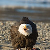 The bald eagle became a national emblem of the United States since 1782, they have been a spiritual symbol for Alaska Natives for longer than that.