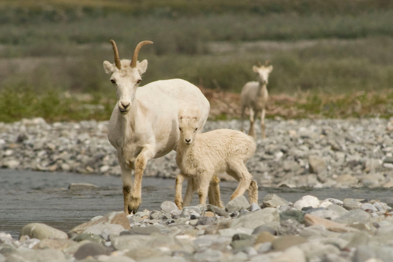 DALL SHEEP OF THE ARCTIC