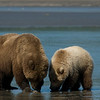 BEARS OF SILVER SALMON CREEK