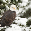 American Bald Eagles can be found in North America, from Alaska to Mexico. They are typically seen in areas near large bodies of open water with an abundant food supply and old-growth trees for nesting.