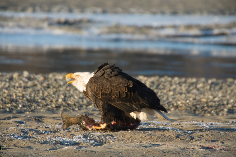 This Bald Eagle screeches to ward of intruders, while protecting a meal of fish. It visits Haines, AK each year when there are few places left to fish, as most of the rivers have frozen over, trapping the fish under a layer of ice.