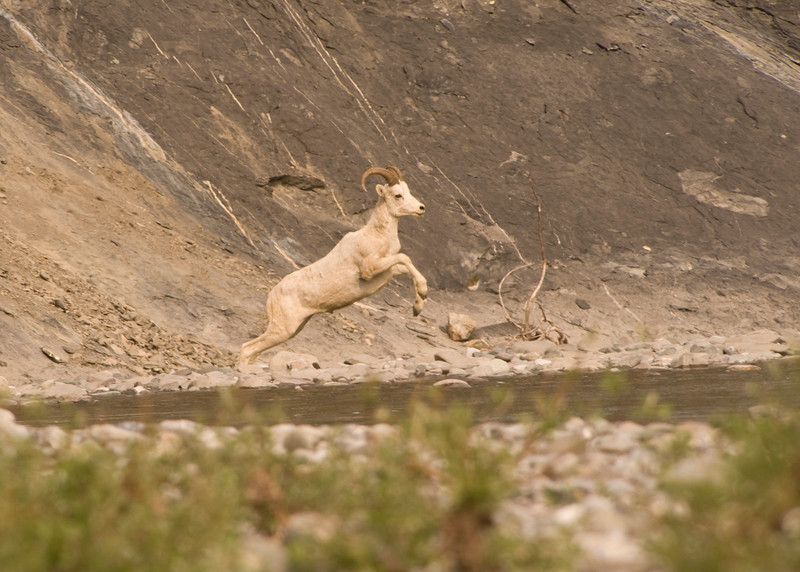 Male Dall Sheep have thcik curling horns. The females have shorter, more slender, slightly curved horns. Males live in bands which seldom associate with female groups except during the mating season. Lambs are born in May.