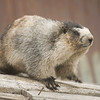 The Alaska marmot is a large ground-dwelling rodent. It has a heavy body with short neck and bushy tail, powerful legs and feet, and claws well-suited for digging. Potential concerns for the marmots include vulnerability to natural and human-caused impacts as a result of low population densities and patchy distribution. Although the overall effects are unknown, this species' alpine tundra habitat may be retreating as a result of global warming.