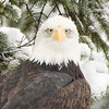 Found only in North America, bald eagles are more abundant in Alaska than anywhere else in the United States. The Alaska population is estimated at 30, 000 birds.