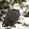 The average lifespan of bald eagle in the wild is around 20 years, with the oldest confirmed one having been 38 years of age.
