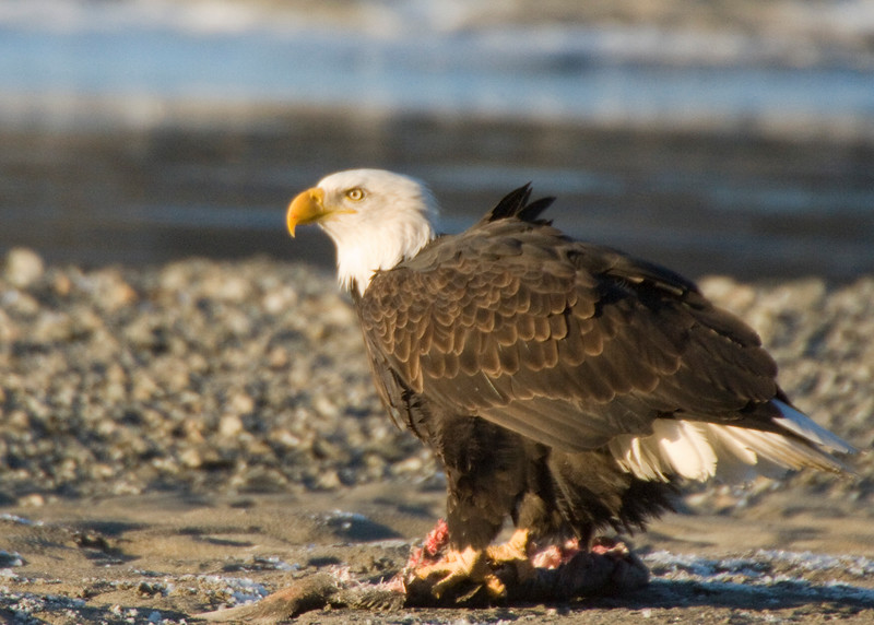 This eagle is taking advantage of a frozen fish found on a beach in Haines, Alaska. Although they are adept hunters, they often prefer to eat the food of another eagle after chasing it of the catch. The talons on the end of the toes are curved and razor-sharp for catching and holding their prey. Rough bumps on the eagle's toes also help them hold slippery, wiggling fish.