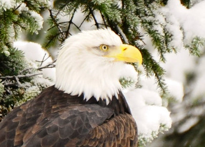 "Eagles are protected by the ""Bald & Golden Eagle Protection Act"", of 1962. It currently prohibits anyone, without permit, from ""taking"" bald eagles. Taking is described to include their parts, nests, or eggs, molesting or disturbing the birds."