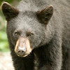 BLACK BEAR ON THE MOVE