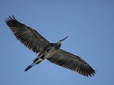 Lake San Marcos Birds