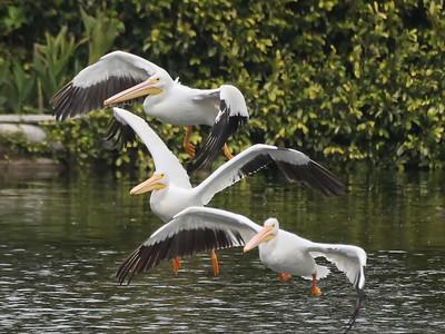 Lake San Marcos Pelicans