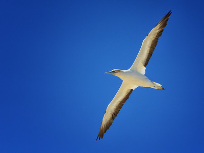 New Zealand Gannets