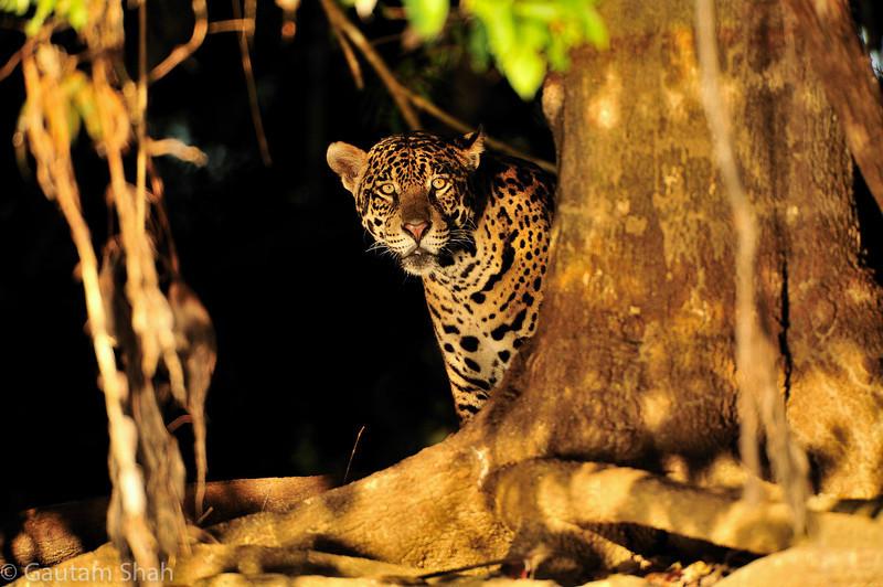 Jaguar - Pantanal, Brazil