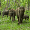 Asian Elephants, Nagarahole National Park, India