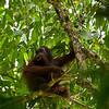 Orangutan - Danum Valley National Park, Borneo, Malaysia