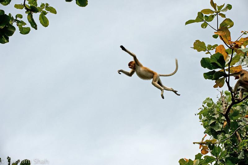 Proboscis Monkey - Bako National Park, Borneo, Malaysia