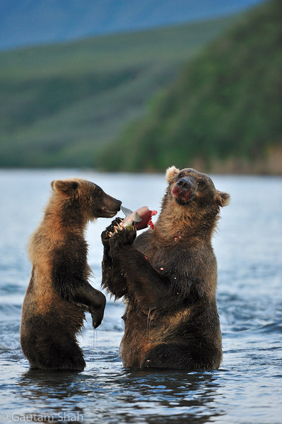 Grizzly Bears - Kamchatka, Russia