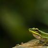 White Lipped Frog - Gunung Mulu National Park, Borneo, Malaysia