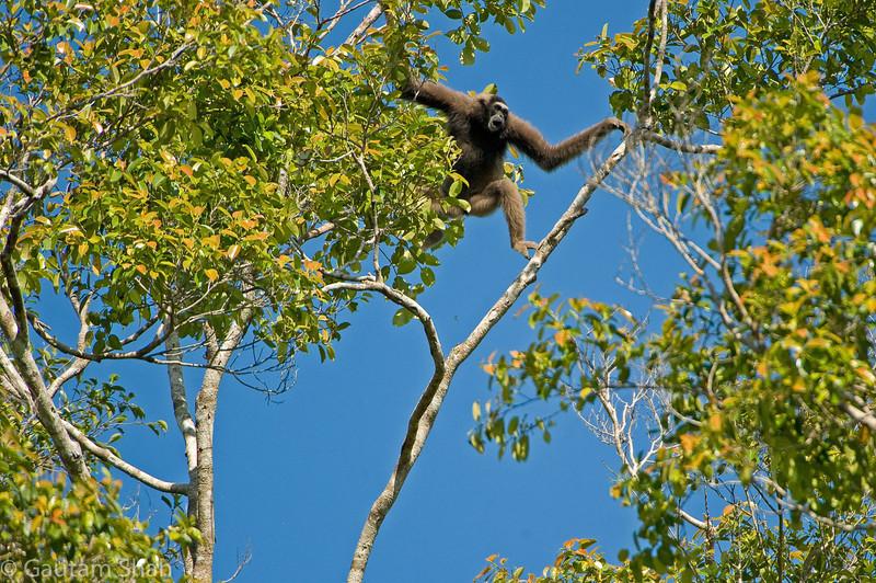 Bornean Gibbon - Kinabatangan River, Borneo, Malaysia