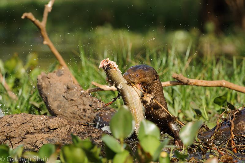 Giant River Otter - Pantanal, Brazil