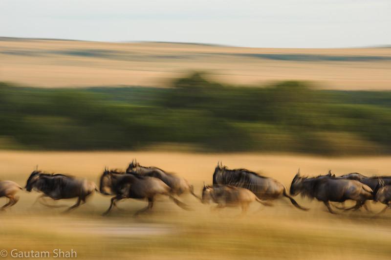 Wildebeest - Masai Mara, Kenya