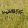 Serval Cat - Masai Mara, Kenya