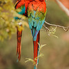 Red and Green Macaws - Pantanal, Brazil