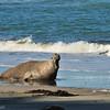 Elephant Seal - Peninsula Valdes, Argentina