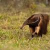 Giant Anteater - Pantanal, Brazil