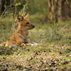 Dhole (Indian Wild Dog) - BR Hills National Park, India